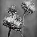 Bristle Thistle In Black And White by Kathy Clark