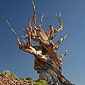 Bristlecone Pine by Cassie Marie Photography