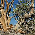 Bristlecone Pine by Greg Nyquist