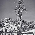 Bristlecone Pine - High Sierra by John Waclo