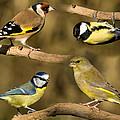 British Garden Birds by Steev Stamford
