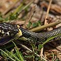 British Grass Snake by Dawn OConnor