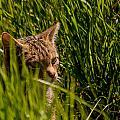 British Wild Cat by Dawn OConnor