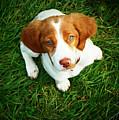 Brittany Spaniel Puppy by Meredith Winn Photography