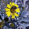 Brittlebush Bee by Linda Dunn