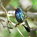 Broad-billed Hummingbird  by Saija  Lehtonen