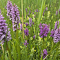Broad-leaved Marsh Orchid Dactylorhiza by Jan Vink