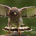 Broad Winged Hawk by Inspired Nature Photography Fine Art Photography
