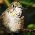 Broadbill Hummingbird by Patricia Blake