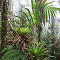 Bromeliads And Tree Ferns  by Cyril Ruoso