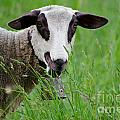Brown And White Sheep by Mats Silvan