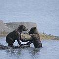 Brown Bear Cubs Playing On A Rocky by Tom Murphy