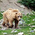 Brown Bear by Paul Fell