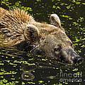 Brown Bear Swimming by Heiko Koehrer-Wagner