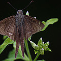 Brown Butterfly Dorantes Longtail by Roena King
