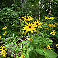 Brown-eyed Susan In The Woods by Gary Eason