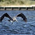 Brown Pelican - Low Flyer by Travis Truelove