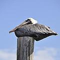 Brown Pelican 2 by Rich Bodane