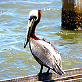 Brown Pelican And Blue Seas by Sheri McLeroy