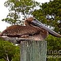 Brown Pelican At Rest by Carol  Bradley