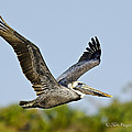 Brown Pelican Flight by Mike Fitzgerald