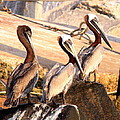 Brown Pelican - Holding Things Together by Travis Truelove