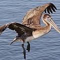 Brown Pelican In Flight by Paulette Thomas