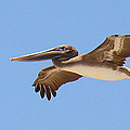 Brown Pelican In High Flight by Roena King
