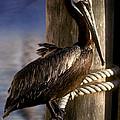 Brown Pelican In Key West 9l by Gerry Gantt