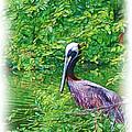 Brown Pelican by Judi Bagwell