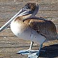 Brown Pelican by Marie Morrisroe