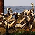 Brown Pelicans - Beauty Of Sand Island by Travis Truelove