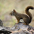 Brown Squirrel In Spokane by Ben Upham III