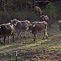 Brown Swiss Cows Coming Home by Douglas Barnett
