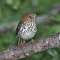 Brown Thrasher by Gregory Scott