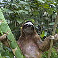 Brown Throated Three Toed Sloth Male by Suzi Eszterhas