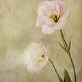 Brushed Pink Lisianthus by Susan Gary