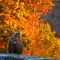 Buck In The Fall 02 by Metro DC Photography