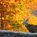 Buck In The Fall 06 by Metro DC Photography