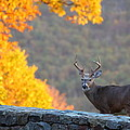 Buck In The Fall 08 by Metro DC Photography
