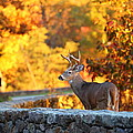 Buck In The Fall 09 by Metro DC Photography