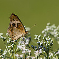 Buckeye Butterfly And Lesser Snakeroot Wildflowers by Kathy Clark