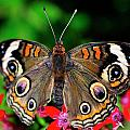 Buckeye Buttterfly by Bill Dodsworth