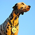 Budweiser Dalmation by Alice Gipson