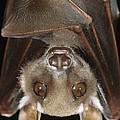 Buettikofers Epauletted Bat Epomops by Ingo Arndt