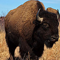 Buffalo by Alan Hutchins