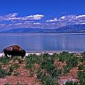 Buffalo And The Great Salt Lake by Rich Walter