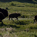 Buffalo Bison Roaming In Custer State Park Sd.-1 by Paul Cannon