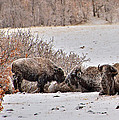 Buffalo Braving The Winter Cold by Stephen  Johnson