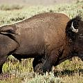 Buffalo Bull by D Robert Franz